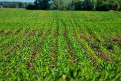 Rows of green corn fields with hills and trees Royalty Free Stock Image