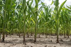 Rows of corn maize growing in the field. Rows of green corn maize growing in the field Stock Photography
