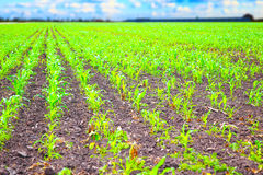 Rows of green corn plants Royalty Free Stock Photography