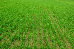 Rows of green crops growing in  field Royalty Free Stock Photos