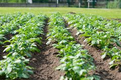 Rows of green leafed vegetable in a field royalty free stock photos