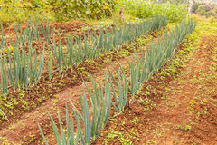 Rows green onion Royalty Free Stock Images