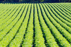 Rows on green plant Stock Photography