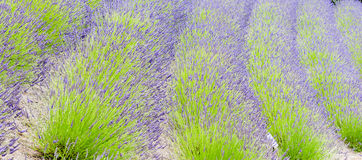 Rows of green and purple lavender plants Royalty Free Stock Image