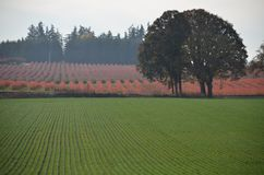 Rows of green and red on a farm in Oregon`s Willamette Valley. Here are rows of red and green produce with trees in Oregon`s Willamette Valley between Silverton Stock Photography