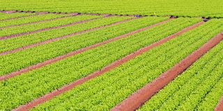 Rows of green salad grown in agricultural field 2 Stock Photo