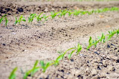 Rows of green seedling Stock Photos