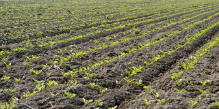 Rows of green seedling Royalty Free Stock Photo