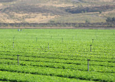 Rows of green seedling at a farm. Royalty Free Stock Image