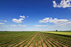 Rows of green soybeans against the blue sky. Soybean fields rows. Rows of soy plants in a cultivated farmers field Stock Photos