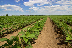 Rows of green soybeans against the blue sky. Soybean fields rows. 