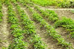 Rows of green strawberry plants Royalty Free Stock Photography