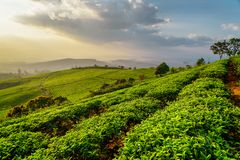Rows of green tea bushes at tea plantation at sunset. Scenic rows of young bright green tea bushes at tea plantation at sunset. Beautiful rural landscape royalty free stock photography