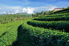 Rows of green tea plantation Royalty Free Stock Photo