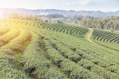 Rows of green terraced Choui Fong tea plantation on highland Stock Images