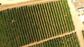 Rows Of Green Trees Growing In Large Garden stock footage