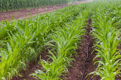 Rows of green vegetable crops Stock Photography
