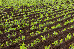 Rows of green vegetables Royalty Free Stock Image