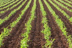 Rows of green vegetables Stock Photography