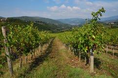 Rows of green Vineyard in Chianti royalty free stock photo