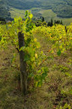Rows of green Vineyard in Chianti royalty free stock images