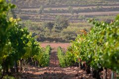 Rows of green vineyard in a clay soil field and a big pine in the background in Valencia, Spain. Beautiful natural wallpaper.  royalty free stock photography