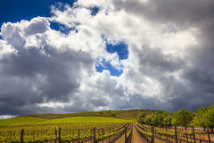 Rows of green vineyard with puffy white clouds in blue sky Stock Photography
