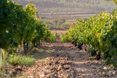 Rows of green vineyard in a rocky soil field and a big pine in the background in Valencia, Spain.  stock images