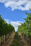 Rows of green vineyards in summer in South Moravia, Czech Republic. Rows of green vineyards in summer in South Moravia, Czech Republic royalty free stock photos