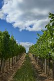 Rows of green vineyards in summer in South Moravia, Czech Republic. Rows of green vineyards in summer in South Moravia, Czech Republic stock photos