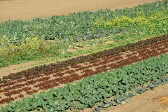 Rows of greens Royalty Free Stock Photo