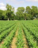 Rows of Growing Agricultural Crops. Specifically Sweetcorn Plants Stock Photo