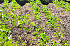 Rows of Growing Agricultural Crops. In farm Royalty Free Stock Photo