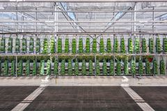 Rows with growing bags filled with different types of plants gro. Wn in a greenhouse in the Netherlands Stock Images