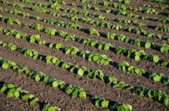 Rows of growing brown beans plants Stock Image