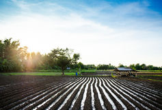Rows of growing cereal sprouts in black soil in agricultural fie. Rows of growing corn seedling in black soil in agricultural field Stock Images