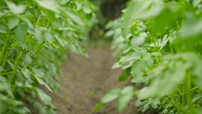 Rows of growing potatoes green plants stock video footage