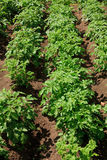 Rows of growth green potato Royalty Free Stock Images