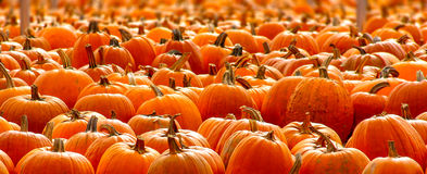 Rows of Halloween Pumpkins Royalty Free Stock Photos