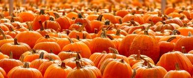Rows of Halloween Pumpkins Royalty Free Stock Photos