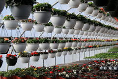 Rows of hanging and potted plants in greenhouse Stock Photo