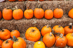 Rows of Harvest Pumpkins Royalty Free Stock Photography