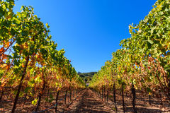 Rows of harvested grape vines in the sun Stock Photos