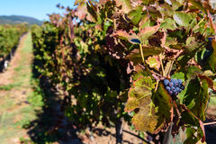 Rows of harvested grape vines in the sun Royalty Free Stock Image