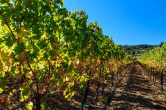 Rows of harvested grape vines in the sun Royalty Free Stock Photo