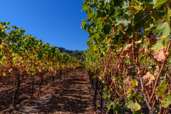 Rows of harvested grape vines in the sun Royalty Free Stock Photography