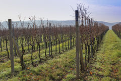 Rows of harvested grape vineyard. Without a green meadow and the sky Royalty Free Stock Photos