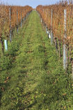 Rows of harvested grape vineyard. Without a green meadow and the sky Stock Photography