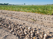 Rows of harvested tulip bulbs on soil Stock Image