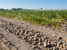 Rows of harvested tulip bulbs on soil Stock Images